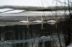 Trumpeter swans near Haines, Alaska, in February