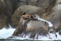 Steller sea lions in Kenai Fjords, Alaska