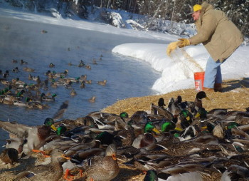 Marv Hassebroek of Fairbanks feeds overwintering ducks a mixture of cracked corn, wheat and vitamin-and-mineral pellets.