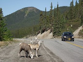 Stone sheep along the Alaska Highway