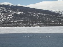 Swans on Lake Bennett at Carcross