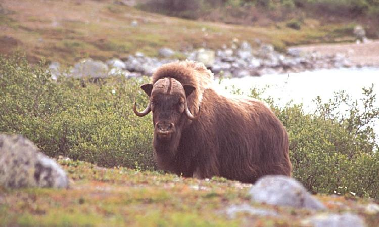 A photo of a musk ox in the Arctic