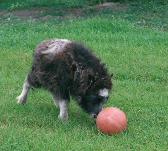 A photo of a musk ox calf playing with a ball at the Musk Ox Farm in Palmer, Alaska
