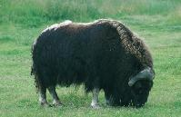 Picture of a musk ox
