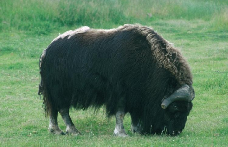A photo of a musk ox at the Musk Ox Farm in Palmer, Alaska