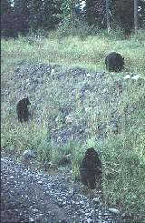 A family of black bears beside the Stewart-Cassiar Highway in northern British Columbia