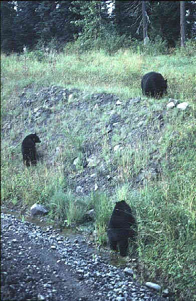 3 black bears along the Stewart-Cassiar Highway in northern British Columbia.