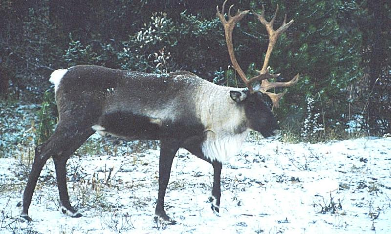 A photo of a caribou in Stone Mountain National Park.