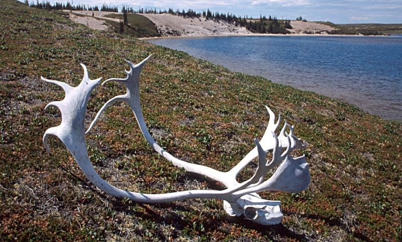 A photo of caribou antlers and skull at Whitefish Lake, Northwest Territories.