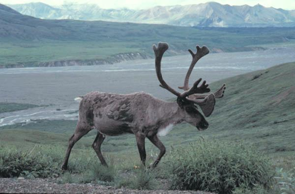 A close-up picture of a bull caribou in Denali National Park, Alaska.
