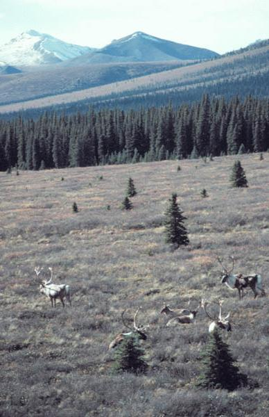 A small herd of caribou in the early fall, in Denali Park, Alaska.