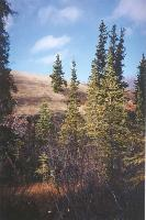 Photo #13 - the active dunes of the world's smallest desert burying spruce trees - Carcross, Yukon