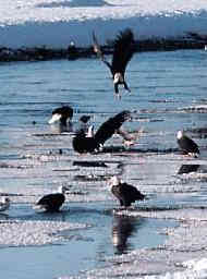 Eagles dive-bombing each other along the Chilkat Rver at at Haines, Alaska