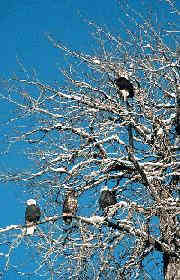 Yet another tree loaded with sociable eagles, both adult and juvenile - 