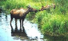 Photo of a moose cow and calf