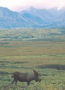Photo of a bull moose near the Muldrow Glacier in Denali National Park, Alaska