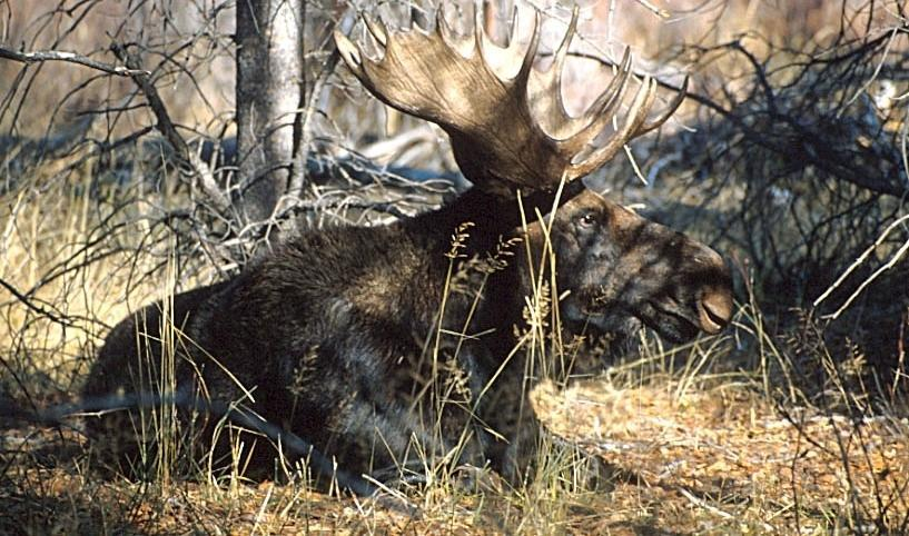 A photo of a bull moose - the Monarch of the Forest