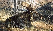 Photo of a bull moose - the Monarch of the Forest