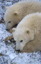 Photo of 2 polar bears near Churchill