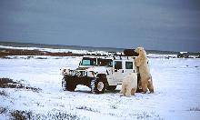 Photo of polar bears near Churchill