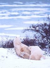 Photo of a large polar bear cub nursing