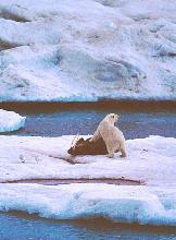 Photo of a polar bear on a walrus kill in the Russian Arctic