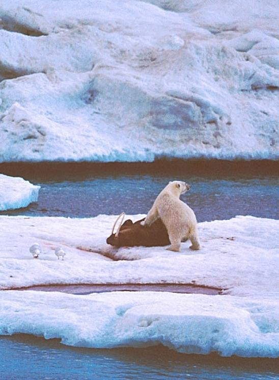 A photo of a polar bear on a walrus kill in the Russian Arctic