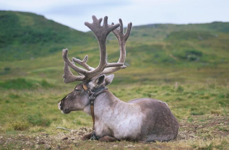 A photo of a reindeer bull in Norway