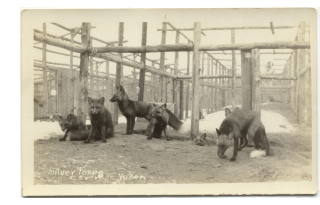 Silver foxes at a Carcross fox farm in about 1920