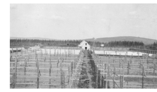 A fox farm in Alaska in about 1916