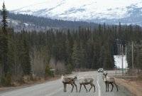Caribou on the highway near Robinson, Yukon