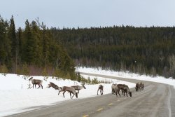 Caribou on the Alaska Highway