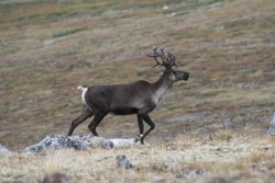 Bull caribou on Montana Mountain, Yukon