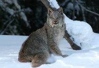 A lynx seen along Tutshi Lake, BC