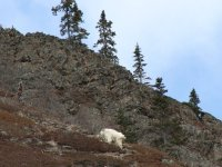 A mountain goat seen at Pooley Canyon, Yukon