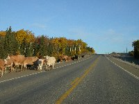 Cows on the Alcan near Wonowon, BC in October 2002