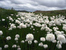 Arctic cotton grass along the Top of the World Highway, Yukon
