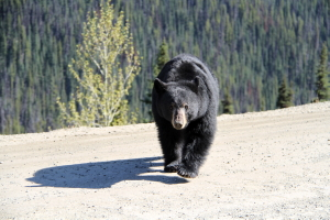 Black bear on the Bella Coola hill