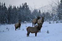 Elk along the Alaska Highway