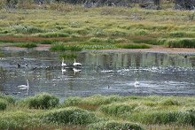 Swans and other waterfowl along the North Klondike Highway, Yukon