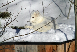Arctic fox in the winter at the Yukon Wildlife Preserve near Whitehorse