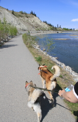 Millennium Trail at Whitehorse, Yukon